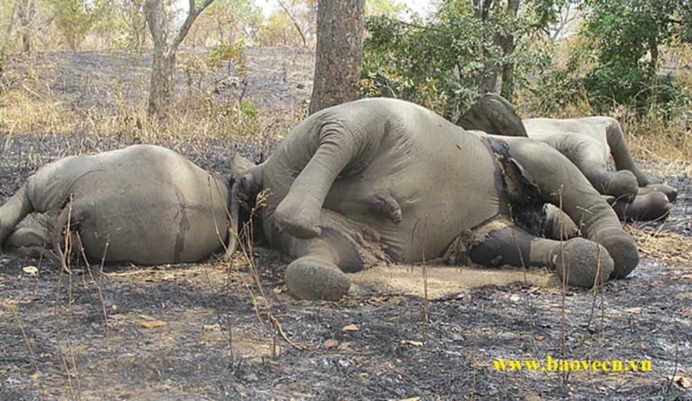 Thiếu lực lượng bảo vệ, hàng loạt voi bị giết lấy ngà tại Châu Phi