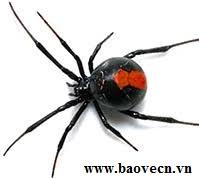 Cách bảo vệ tính mạng khi nhện góa phụ đẹn cắn